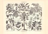 Arzneipflanzen III. historischer Druck Holzstich ca. 1902