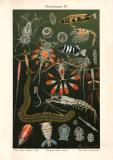 Meeresfauna III. Chromolithographie 1906 Original der Zeit