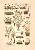 Moose I. historischer Druck Chromolithographie ca. 1906