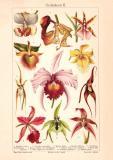 Orchideen II. historischer Druck Chromolithographie ca. 1906