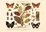 Mimikry Nachahmung bei Insekten historischer Druck...