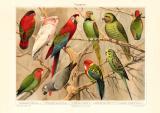 Papageien historischer Druck Chromolithographie ca. 1906