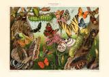 Schmetterlinge I. Mitteleuropäer historischer Druck...