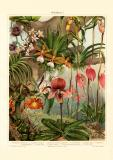 Orchideen I. historischer Druck Chromolithographie ca. 1906
