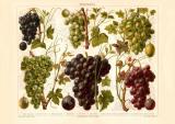 Weintrauben historischer Druck Chromolithographie ca. 1908