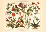 Zimmerpflanzen I. historischer Druck Chromolithographie...
